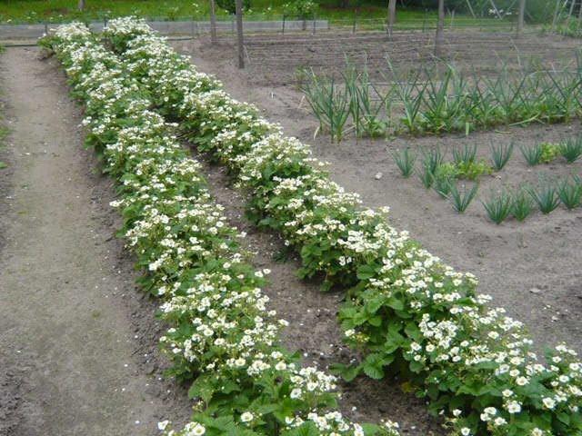 Два ряда садовой цветущей клубники
