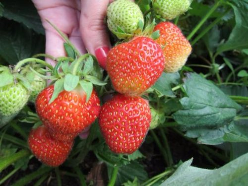 Плоды созревающей земляники