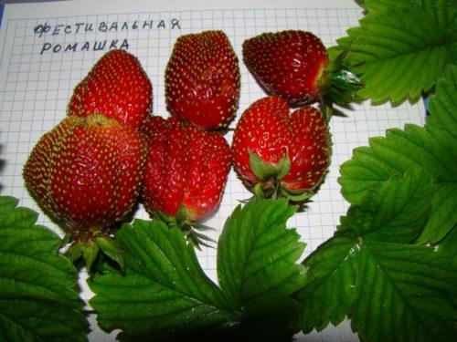 Ребристые ягоды клубники Ромашка Фестивальная