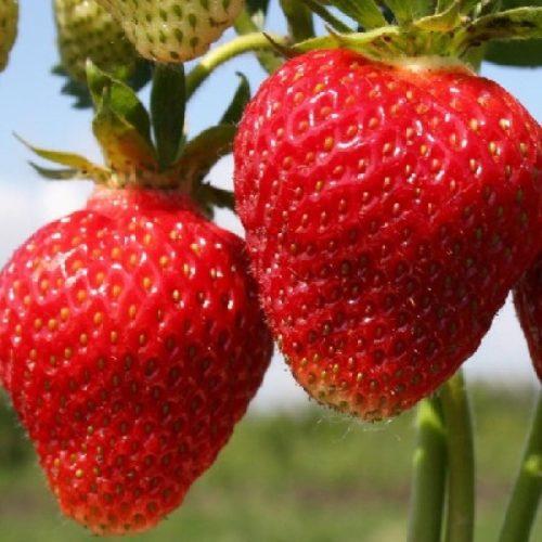 Две крупные ягоды клубники вблизи