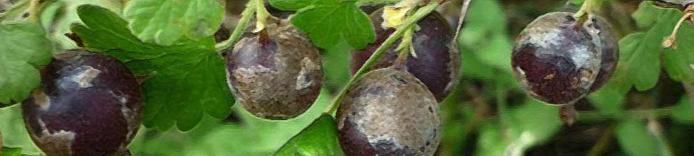 Мучнистая роса на плодах крыжовника вблизи