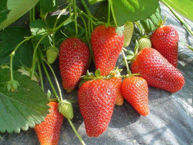 Удлиненные конусовидные ягоды клубники сорта Роксана