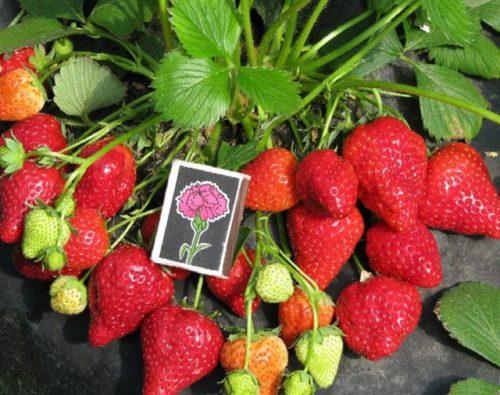 Размеры ягоды клубники Рубиновый кулон