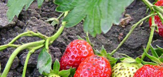Куст клубники Румба и его плоды на земле