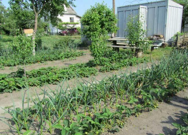 Грядки с клубникой в саду вместе с чесноком
