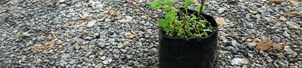 Когда сажать крыжовник - весной или осенью, как правильно: пошаговая инструкция