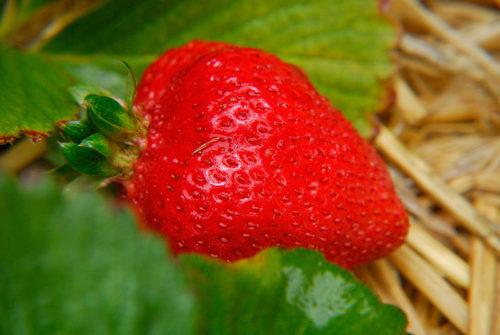 Спелая ягода клубники Сан Андреас