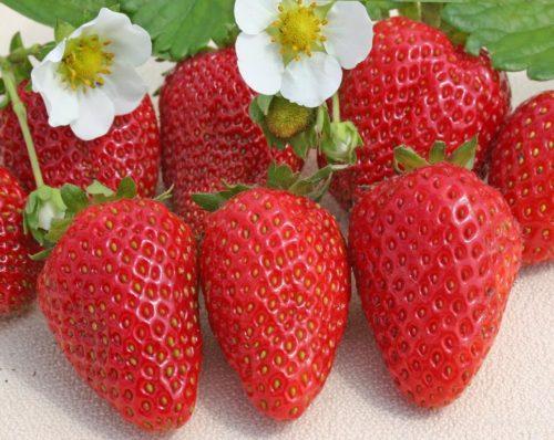 Цветы и ягоды клубники ремонтантного сорта Сан Андреас