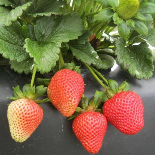 Алые ягоды клубники сорта Сан Андреас
