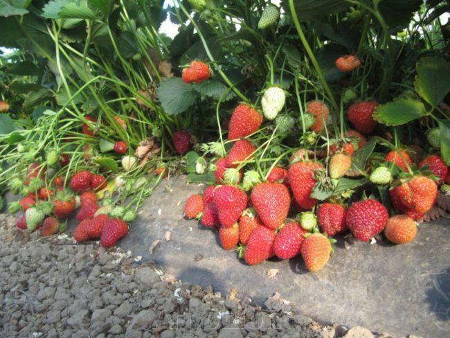 Кусты клубники Сан Андреас и спелые ягоды под ними