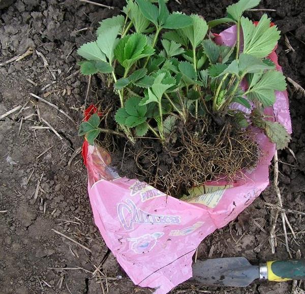 Саженцы клубники с темно-зелеными листьями и открытой корневой системой