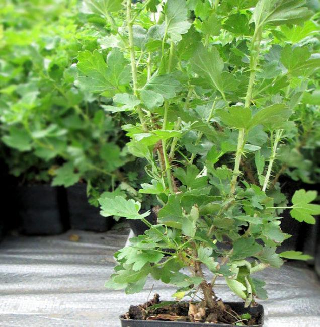 Саженец крыжовника Грушенька в контейнере с зелеными листьями