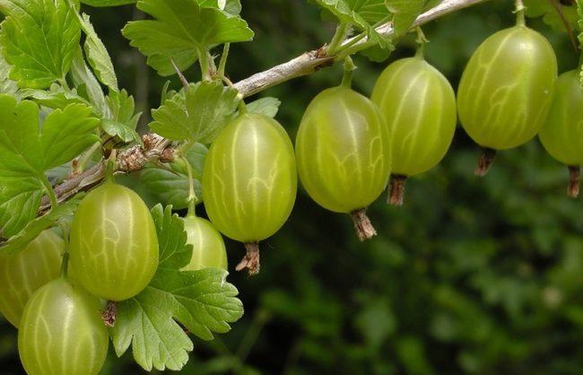 Ветка крыжовника Малахит со спелыми ягодами светло-зеленого цвета