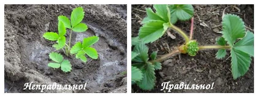 Правильное расположение саженца клубники относительно уровня почвы