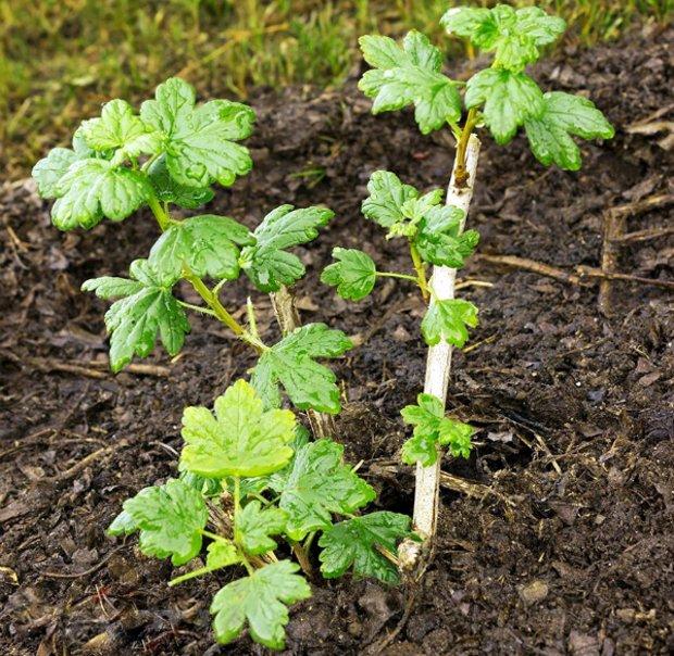 Саженец крыжовника с зеленными листьями, посадка в середине осени