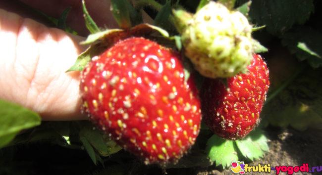 Спелые и зелёные плоды клубники под листвой