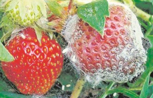 Белые споры на ягоде клубники