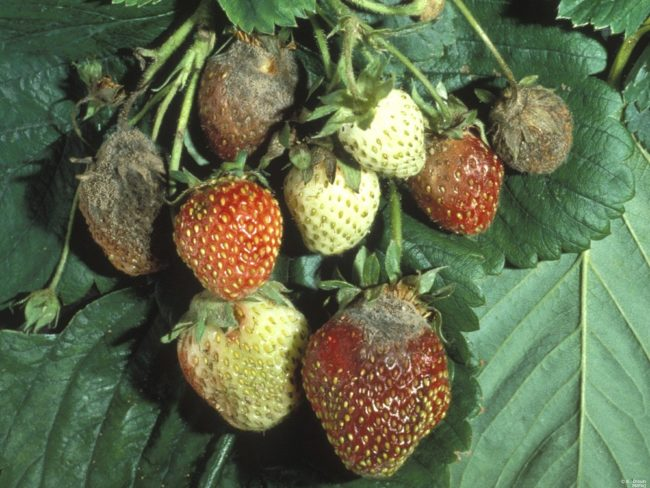 Серая гниль на ягодах клубники