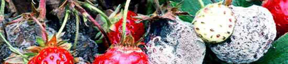 Плоды клубники заражённые и погибшие от серой гнили