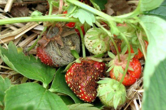 Гнилые ягоды садовой клубники