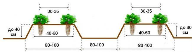 Расстояние между кустами клубники сорта Дарселект