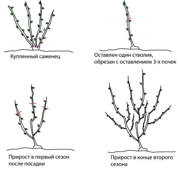 Схема обрезки крыжовника при посадке и в течении первых двух лет жизни кустарника