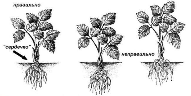 Схема посадки саженца клубники в землю