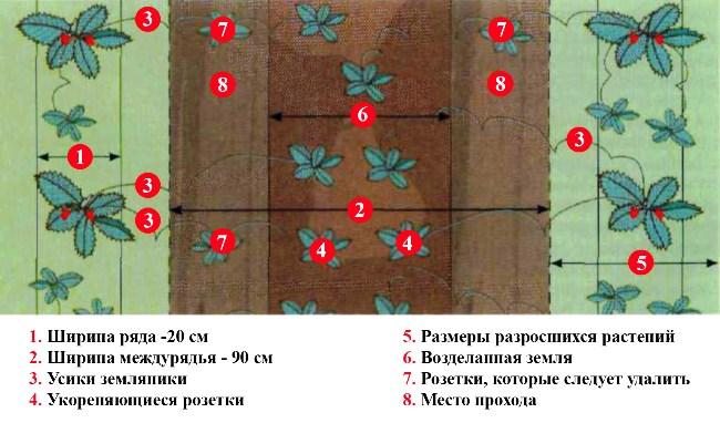 Как правильно и на каком расстоянии сажать клубнику 46
