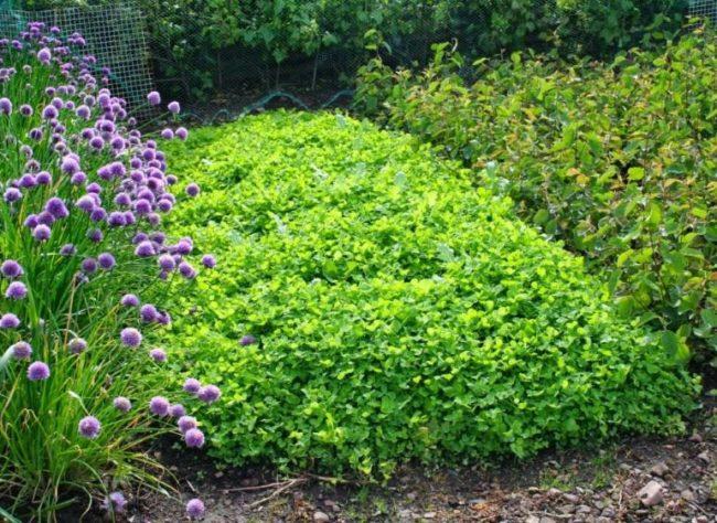 Грядка с сидератами в огороде
