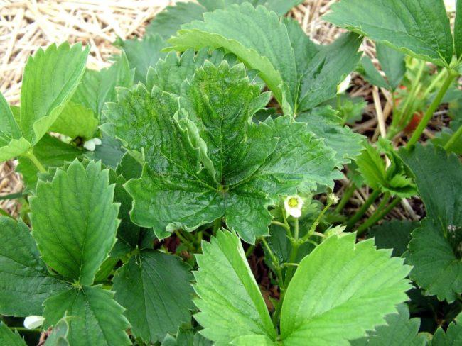 Скрученный лист садовой клубники
