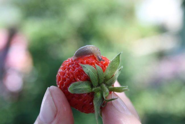 Слизень серый на ягоде клубники