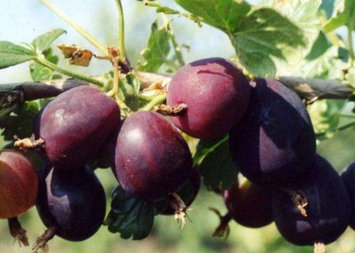 Фиолетовые ягоды на кусте крыжовника сорта «Черносливовый»
