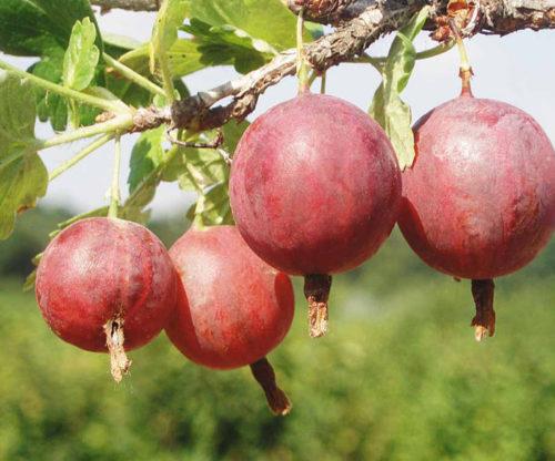 """Красные ягоды крыжовника """"Колобок"""" висят на ветке"""