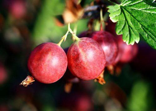 Красные ягоды крыжовника висят на кусте