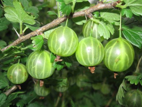 """Зелёные ягоды крыжовника сорта """"Малахит"""""""
