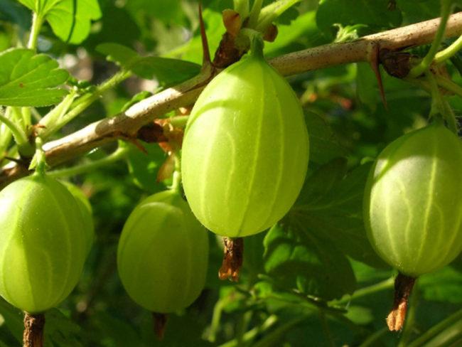 Зелёные крупные ягоды крыжовника сорта «Зелёный бутылочный»