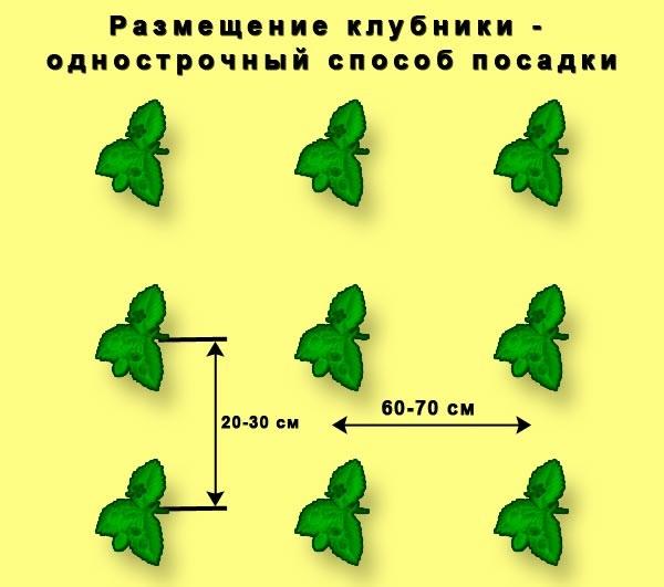 Расстояние между кустами клубники схема посадки