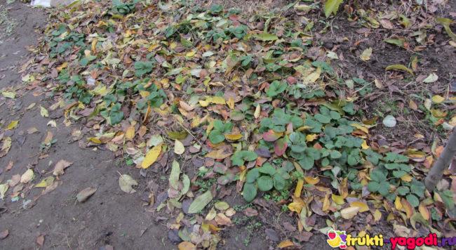 Укрытие клубники на зиму старой листвой грядка