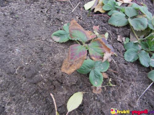 Клубника осенью с уже засохшими листьями