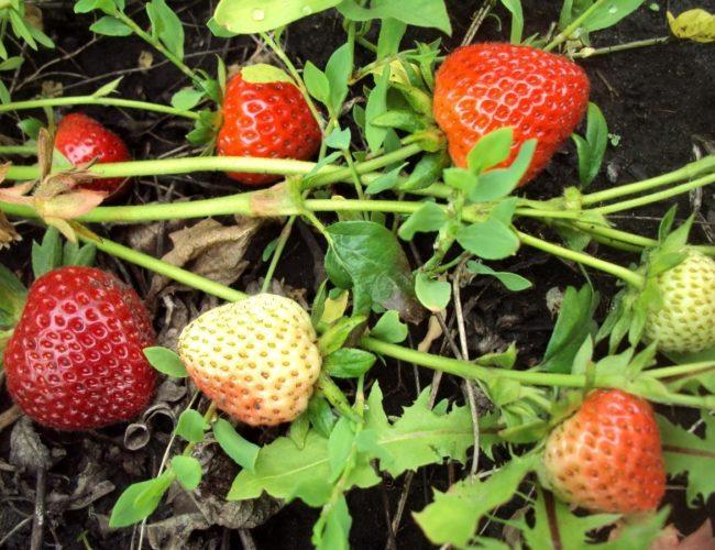 Стебли клубники с ягодами легли на землю