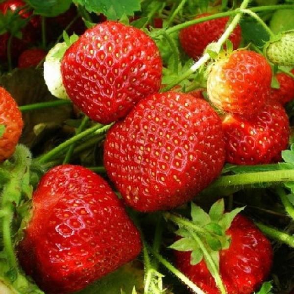 Спелые плоды клубники сорта Сударушка
