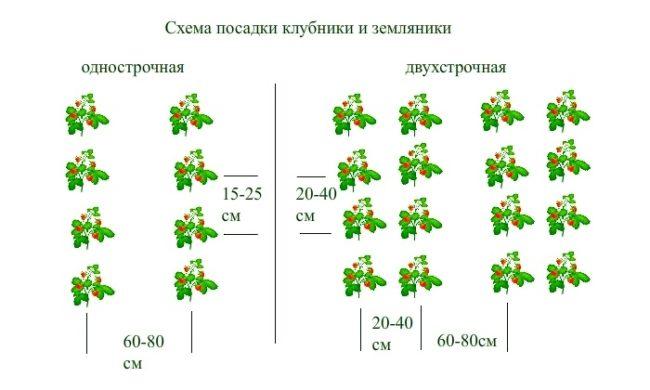 Подробная схема посадки кустов клубники