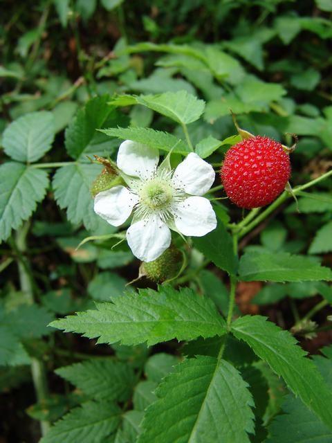 Цветок гибрида клубники с малиной