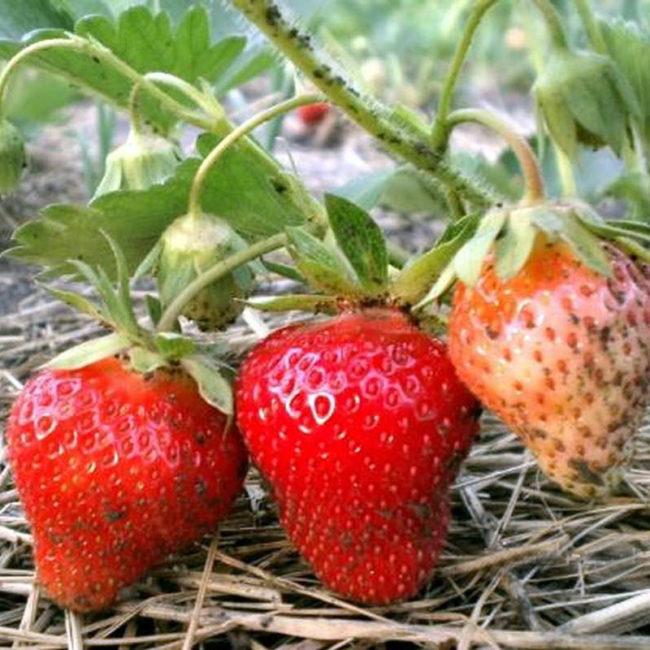 Черная тля на стеблях и ягодах садовой клубники, рекомендуется обработка растений препаратами от вредителей