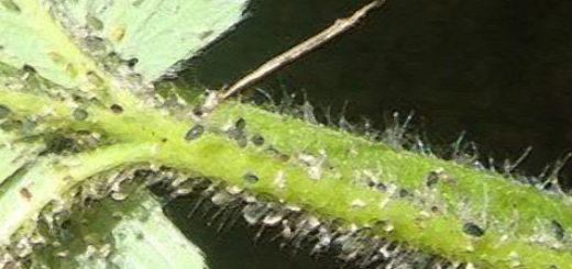 Тля на листе клубники вблизи
