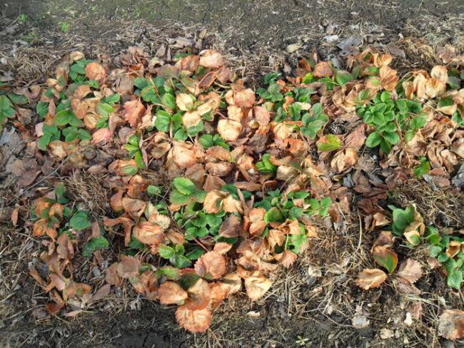 Клубника после зимней спячки с прошлогодними листьями