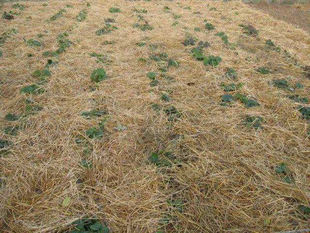 Плантация клубники под сеном укрытая на зиму