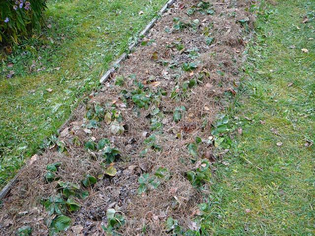 Зимнее укрытие клубники листовым опадом