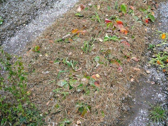 Укрытие клубники на зиму в средней полосе