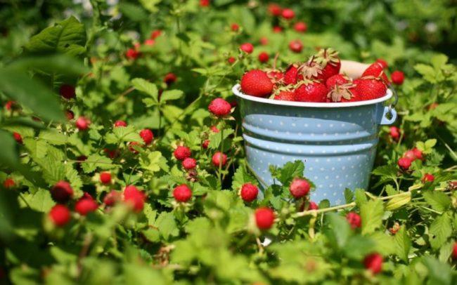 Ведро ягод на плантации клубники.